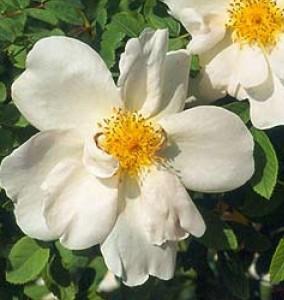 Stora, lösa vita blommor och en tydlig äggul knapp hör rosen Nevada till.