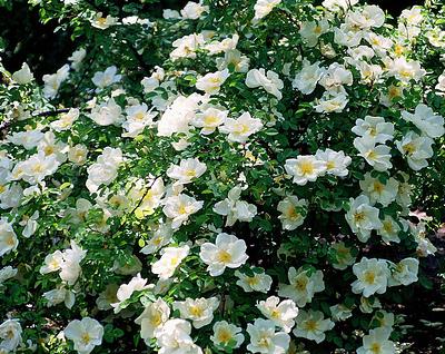 Blomrikedomen är enorm hos rosen Nevada. Blomningen börjar redan i början av juni och pågår en månad.