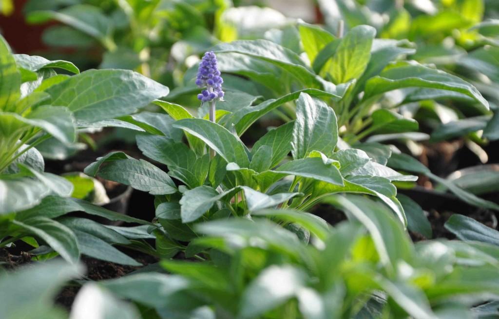Daggsalvian börjar så smått komma i blom inne i växthuset.