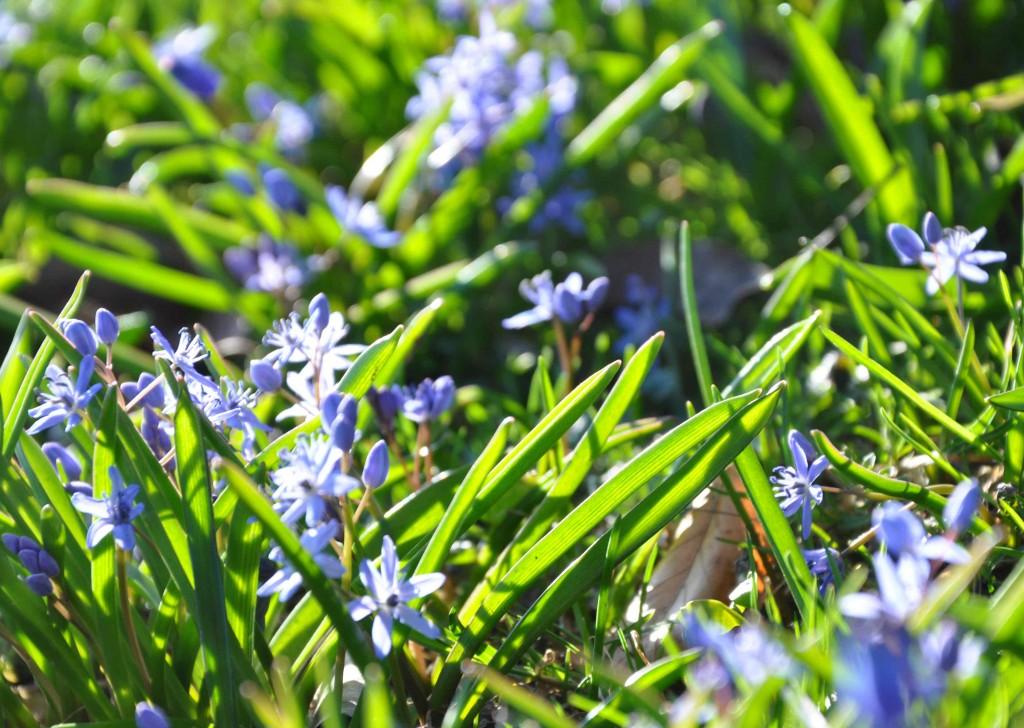 Vackra tidiga blåstjärnan är liten i blomman, men tät och spridningsvillig.