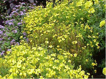 Tagetes är en aromatisk växt som skrämmer många skadegörare.