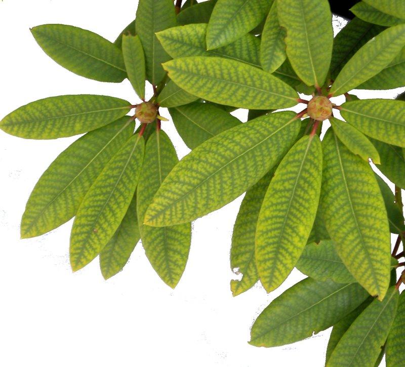 Klorotiska, gulfärgade blad syns ofta på rhododendron som ett resultat av högt pH i jorden.