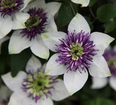 Blommorna är nästan för perfekta hos Clematis florida var sieboldiana.