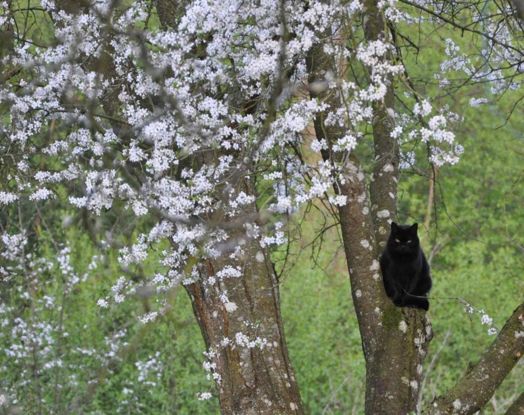 Svart katt i vitt träd. Blommande körsbärsplommon doftar så gott.