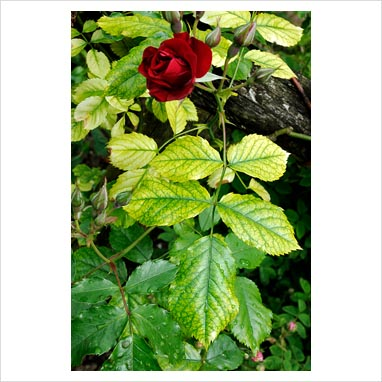 Gulfärgade, klorotiska blad på ros är ganska ovanligt.