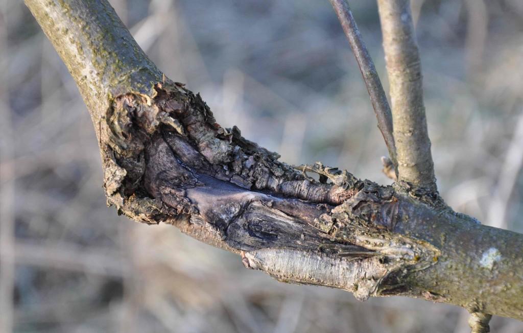 Förvriden bark runt ett sår i grenen tyder på fruktträdskräfta.