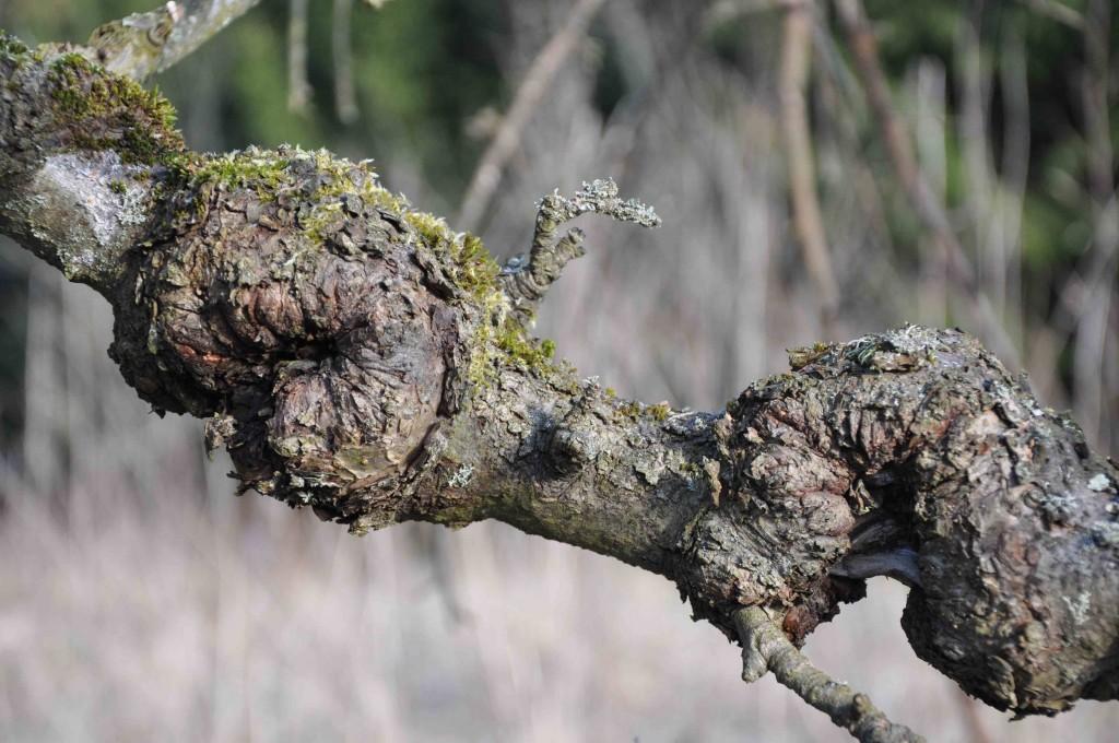 Förvriden bark och stora knutor på grenen är resultat av fruktträdskräfta.