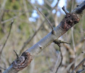 Såren från fruktträdskräftan vandrar runt grenen och stryper näringstillförseln.
