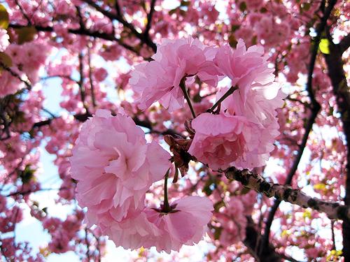 Rosablommande körsbärsträd under körsbärsfestivalen i Japan.