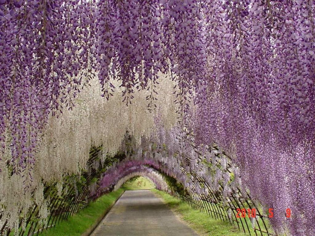 Blommande wisteriatunnel i lila och vitt.