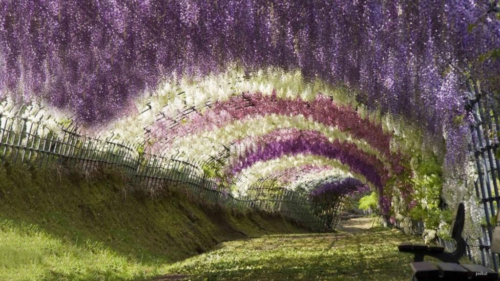 En uppbyggd tunnel med blommande blåregn i vitt, rosa och blått.