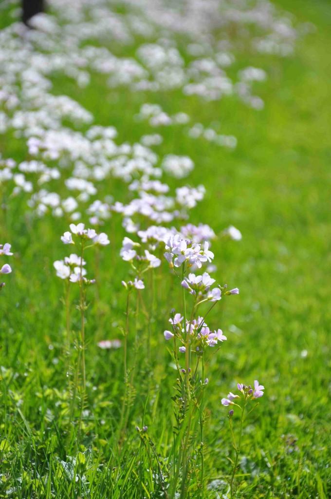 Som vita små fjärilar svävar den över gräsmattan.