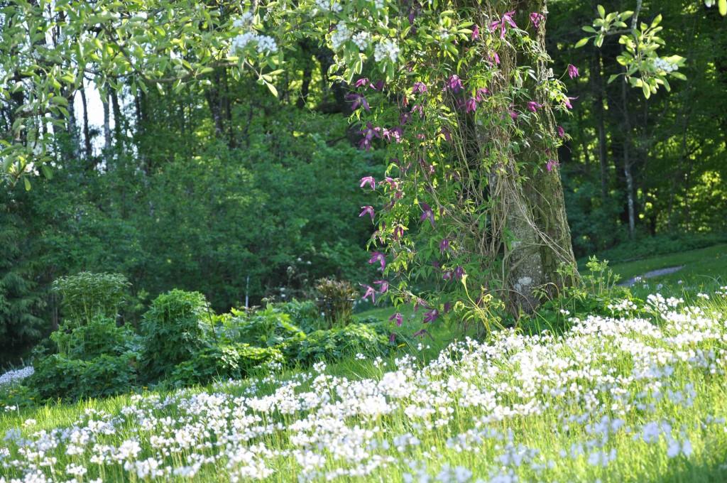 Ängsbräsman matchar päronträdets blomning och den lila klematisen sätter pricken över i.