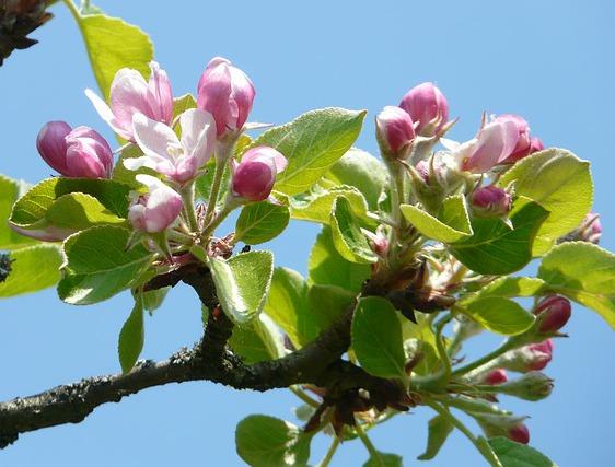 Äppleblommen börjar slå ut så sakta. Vänta lite, så humlorna hinner med!