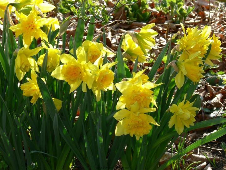 Den dubbelblommande narcissen 'van Sion' är en vanlig gammaldags påsklilja.
