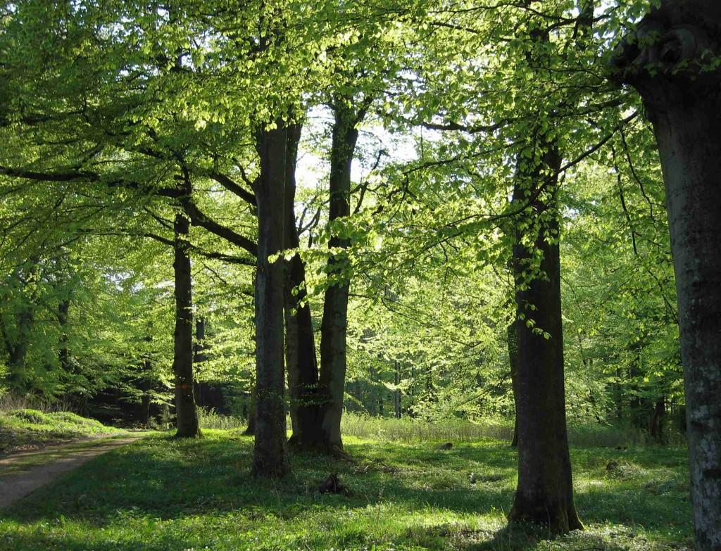 Neongrön bokskog är underbar att vandra igenom. Löven lyser så fint i solljuset.
