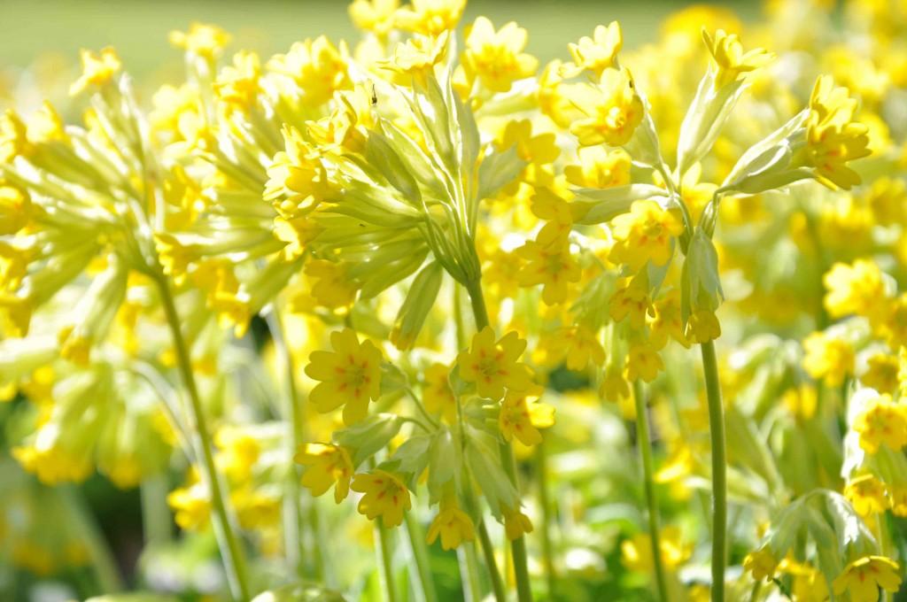 Gullviva är en ätlig växt som man stuvade som grönkål eller åt som sallad förr i tiden.