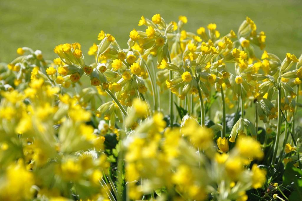 Solgult fält av gullviva piggar upp om våren.