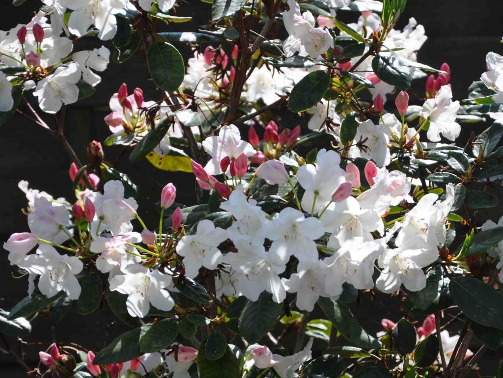 Vacker rhododendron med starkt rosa knoppar som blir vita blommor som utslagna.