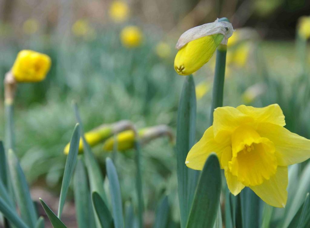 Påskliljorna blommar som bäst i trädgårdens skuggigare delar.