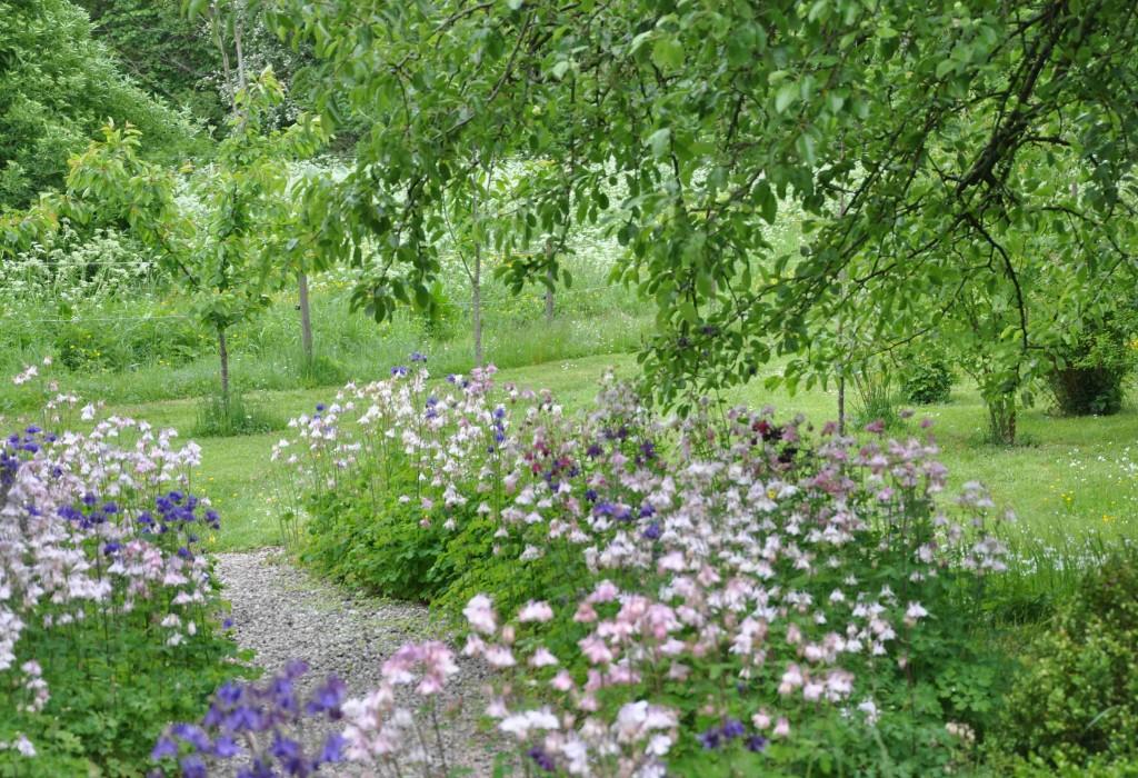 Rosa och blå aklejor kantar gången under päronträdet.