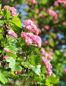 Rosenknoppslika blommor i täta klasar har rosenhagtornet.