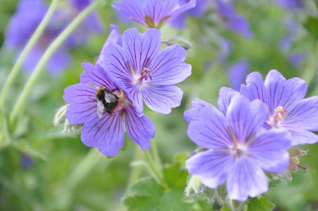 Kungsnävan har stora och hållbara blommor.