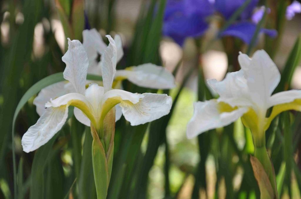 En vit iris för de skuggigare och fuktigare partierna av trädgården.