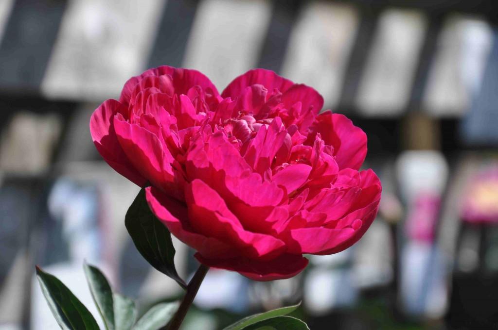 Pionen kansas i flammande vinrött är en härlig blomma.