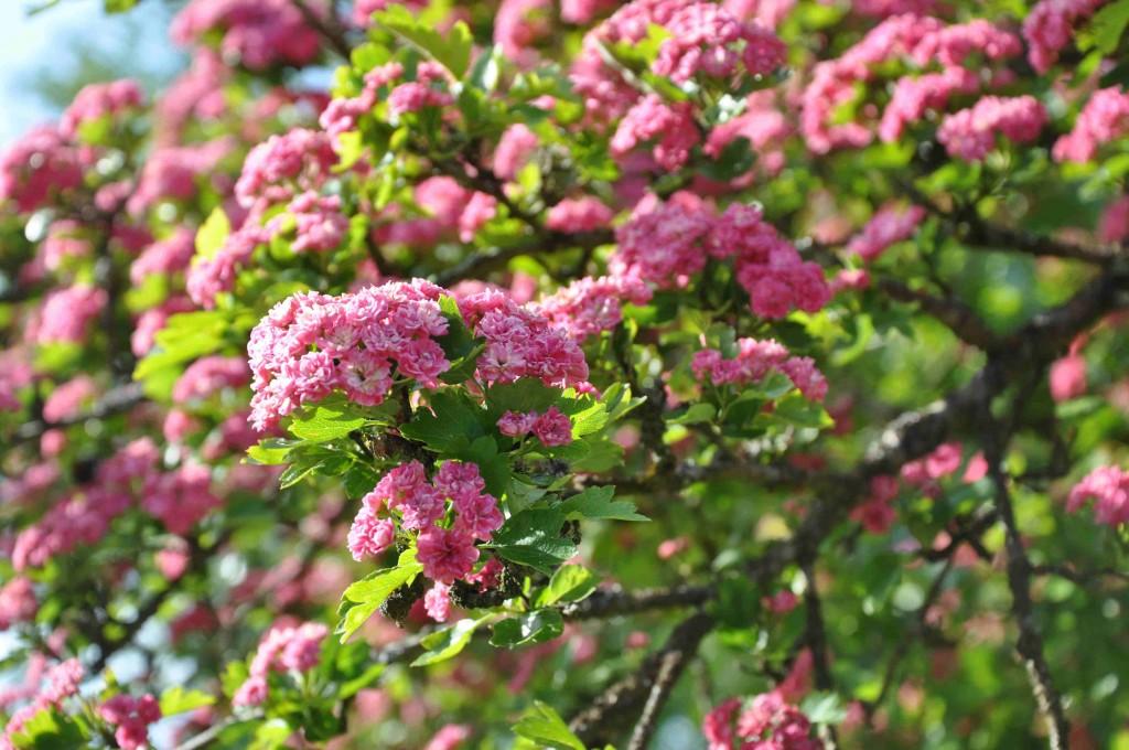 Rosensöt blomning på hagtornsträd nu i början av juni.