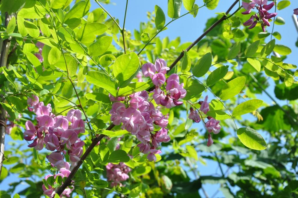 Rosablommande robinia har en luftig krona och ljust gröna blad.