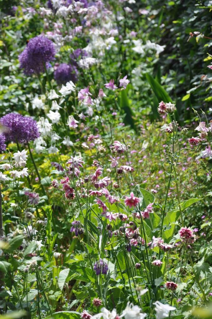 Dubbelblommande och enkla aklejor i sällskap av lila kirgislök.
