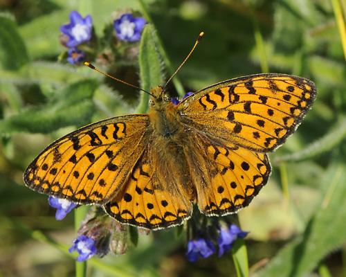 Pärlemorfjärilar är beroende av ogräs i våra trädgårdar och torrbackar.