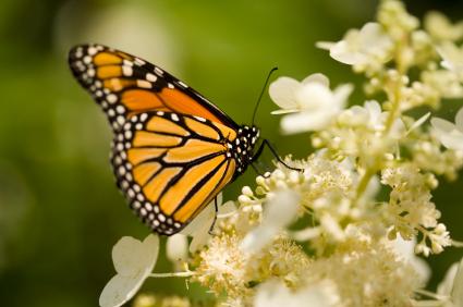 Den ovanliga dagfjärilen monark har landat på en hortensia.