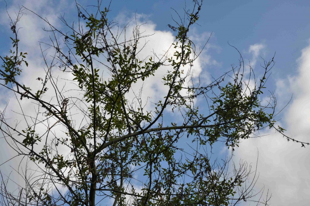 Pilskorv ger kala fläckar i trädet och är ingen vacker syn.