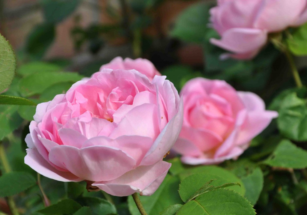 Storblommig och läcker är den doftande rosen Constance Spry.