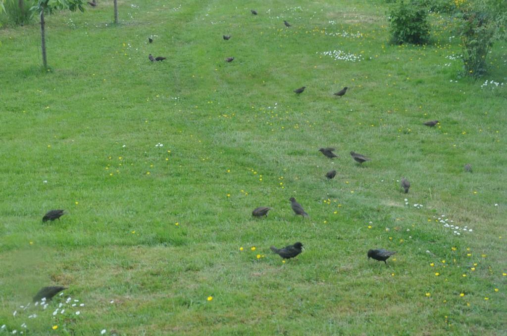 En stor flock starar rensar gräsmattan från maskar, insekter och sniglar.