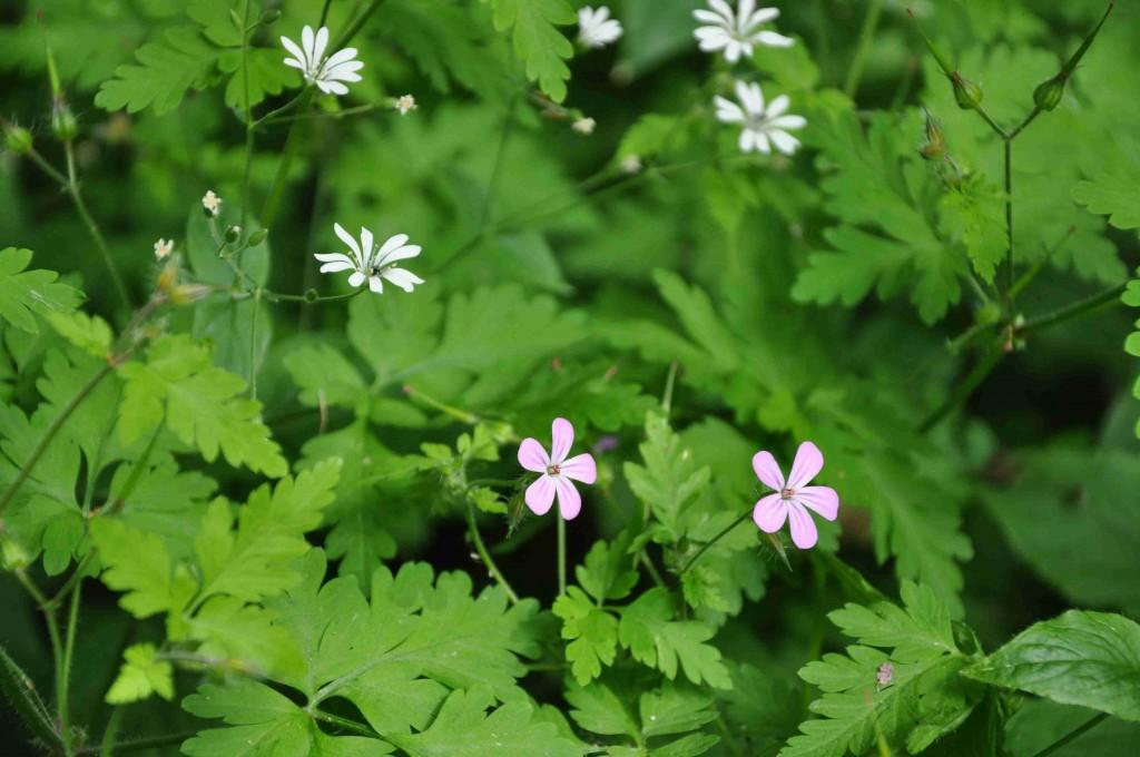 Den vildväxande stinknävan är en oansenlig liten blomma som luktar pyton.