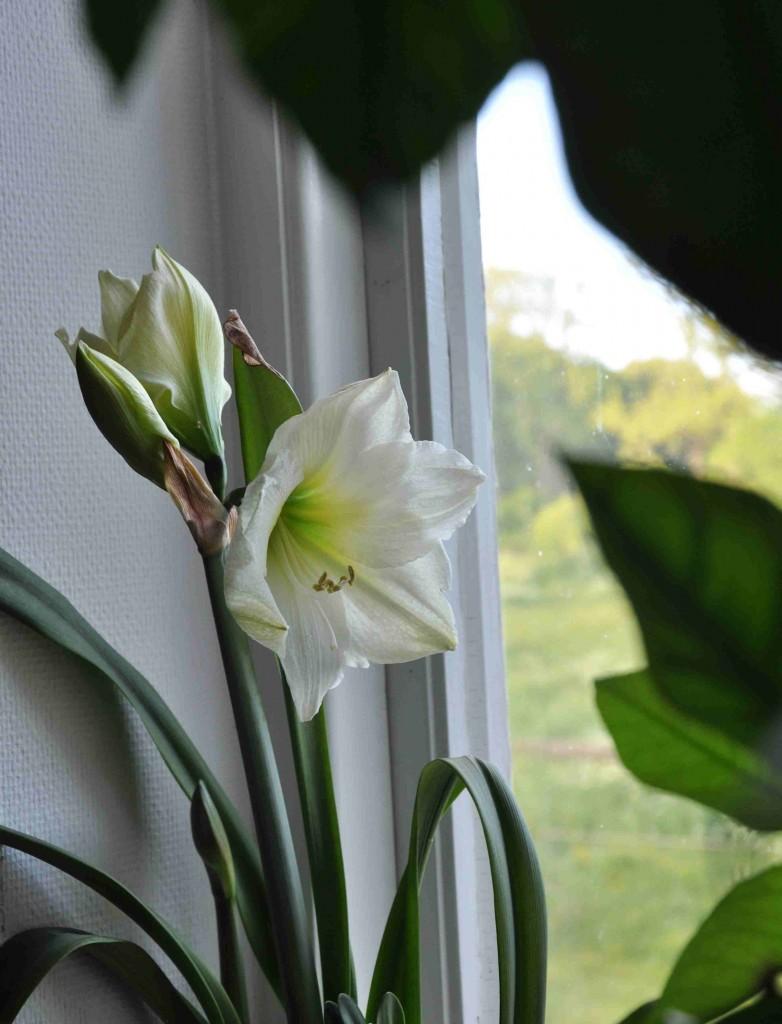 Naturlig blomningstid för amaryllis är mitt i sommaren.