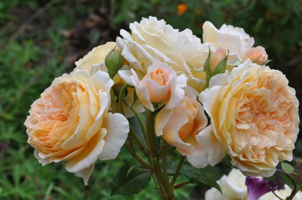 Ljust gul-aprikosfärgad ros med flera blommor i en klase.