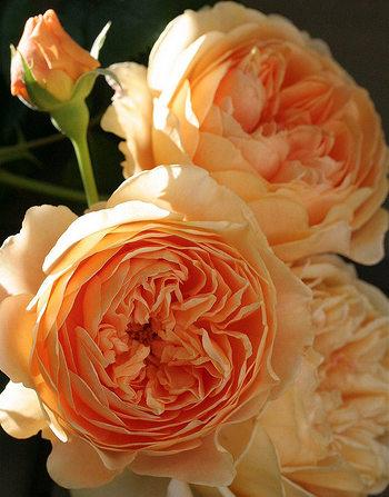 Blommorna är tätt fyllda med kronblad som är mindre ju längre in mot mitten man kommer.