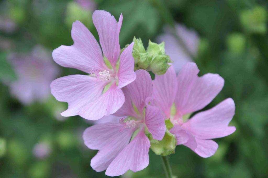Kallt rosafärgade blommor har rosenmalvan.