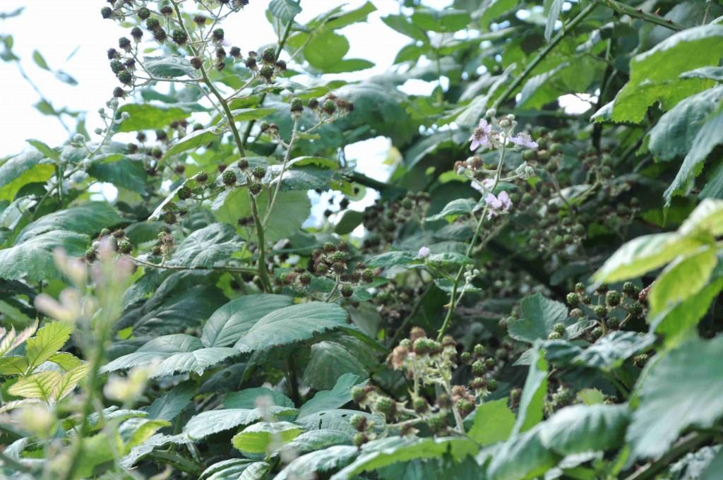 Blommor vid sidan om mognande bär är typiskt för björnbäret.