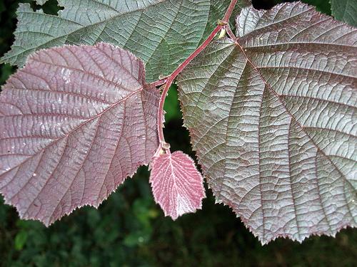Rödbladig hassel ger fin kontrast ihop med buskar med ljusare gröna blad.
