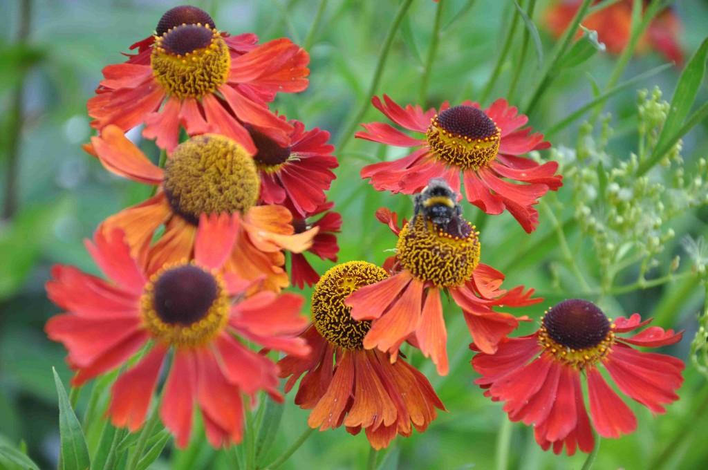 Rubinzwerg är en bronsröd blomma i släktet solbrudar.