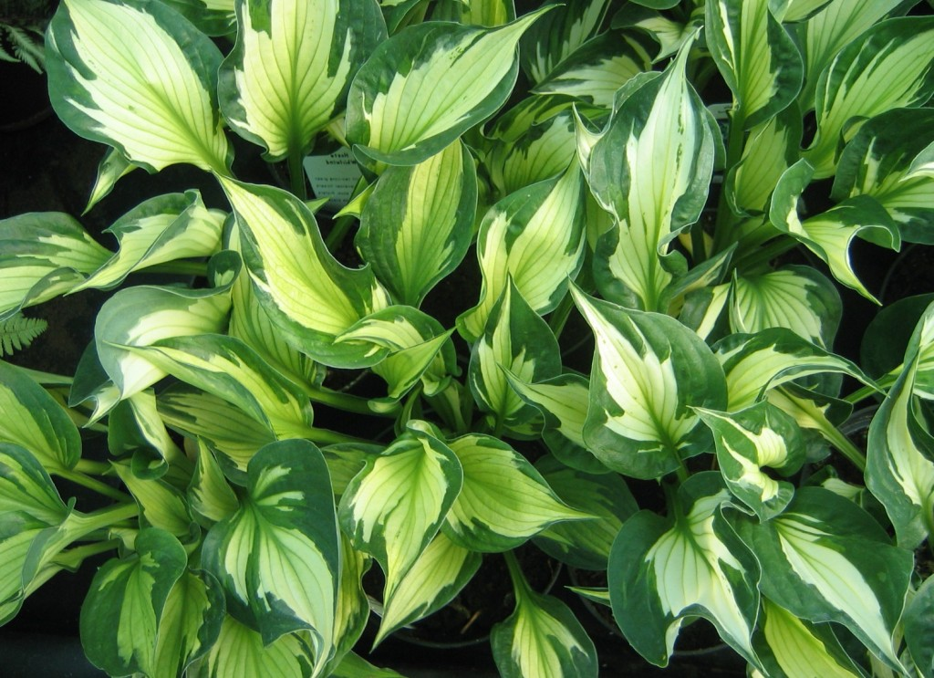 Vitbrokiga funkian Whirlwind har ett dekorativt bladverk.