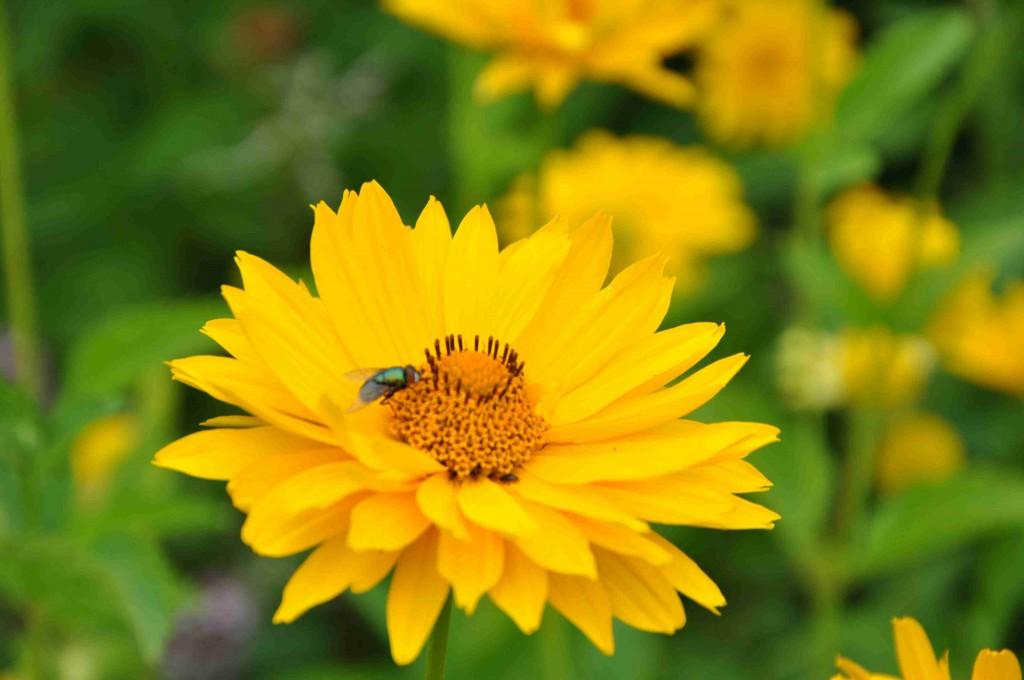 Rudbeckior lockar till sig mängder av insekter med sin starka färg.