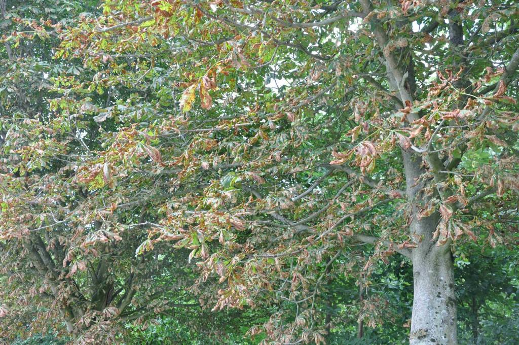 Bruna hästkastanjer kan man se lite varstans i landskapet.
