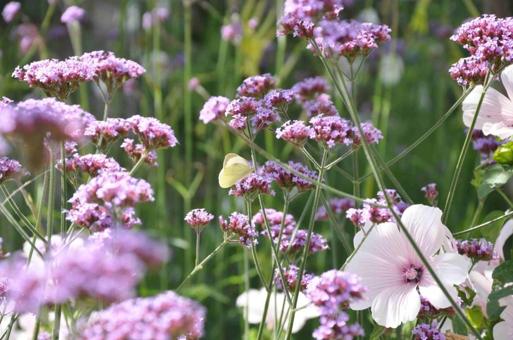 En rabatt med vita malvor och svävande violetta fjärilsväxten jätteverbena.