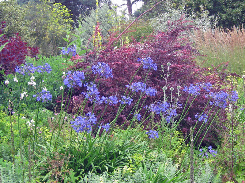 Blå afrikas lilja mot en fond av rödbladig buske.